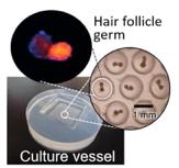 Bouillon culture dimethylpolysiloxane germe follicule pileux